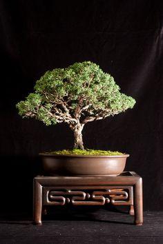 A relaxing zen bonsai tree