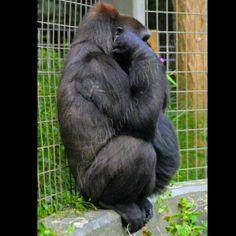 Gorilla @ The Ohio Zoo