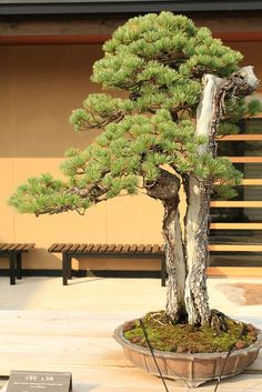 "五葉松 双鶴 Goyo-matsu ""Sokaku"" (Japanese Five Needle Pine) - 盆栽美術館 - bonsai museum | Flickr - Photo Sharing!"