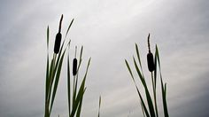 The lowly cattail is emerging as the weapon of choice against water contamination.  In addition to its use in large phytoremediation projects to absorb contamination...