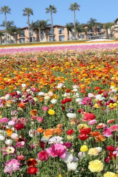 Gennifer Rose - Carlsbad Flower Fields