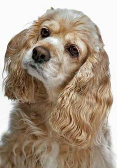 Photo about American Cocker Spaniel in front of a white background. Image of cocker, animal, canine - 19451039 Perro Cocker Spaniel, American Cocker Spaniel, Yorkies, Cute Puppies, Dogs And Puppies, Pet Dogs, Dog Cat, Cockerspaniel, Funny Animals