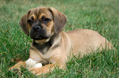 Full-Grown Puggles   Muttpuppies on Trial: October 2008