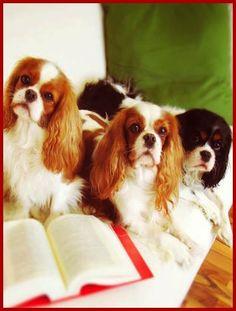 hunderecht anwalt Ackenheil Anwaltskanzlei Vorzimmerdamen ;-) Cavalier King Charles Spaniel #Hund #Dog