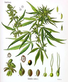 Cannabis (Cán-na-bis; English pronunciation: /ˈkænəbɪs/) is a genus of flowering plants that includes three putative varieties, Cannabis sativa,[1] Cannabis indica,[1] and Cannabis ruderalis. These three taxa are indigenous to Central Asia, and South Asia.[2] Cannabis has long been used for fibre (hemp), for seed and seed oils, for medicinal purposes, and as a recreational drug. Industrial hemp products are made from Cannabis plants selected to produce an abundance of fiber.