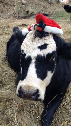 Even my cow is getting into Christmas lol