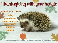 Thanksgiving food that's safe to share with your pet hedgehog 🦔 Hedgehog Food, Hedgehog Care, Pygmy Hedgehog, Hedgehog House, Cute Hedgehog, Hedgehog Habitat, Fluffy Animals, Cute Animals, Hedgehogs Pet Care