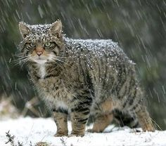 The Scottish Wildcat  www.superstarpetservices.com