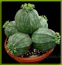 https://flic.kr/p/PfvuU | Euphorbia obesa | Originaria de Sudáfrica
