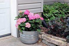 Endless Summer hydrangea in a pot