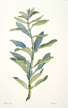 white sage watercolor botanical illustration chris chapman