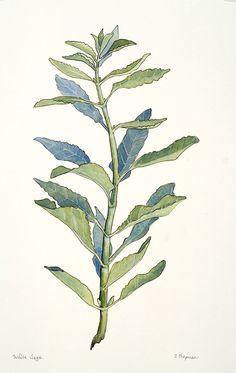 white sage watercolor botanical illustration chris chapman