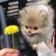 Teacup Puppies, Cute Puppies, Cute Dogs, Cute Babies, Pom Pom Puppies, Dog Pictures, Cute Pictures, Baby Goats, Pomeranian Puppy