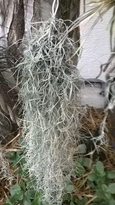 Grow Spanish Moss in Your Outdoor or Indoor Garden – Parade Spanish Garden, Spanish Moss, Hanging Plants Outdoor, Indoor Plants, Potted Plants, Moss Garden, Succulents Garden, Organic Liquid Fertilizer, Moss Decor