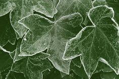Efeublättern kann Frost nichts anhaben.