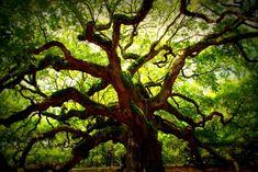 The Angel Oak tree - Imgur