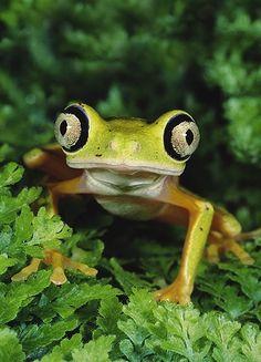 Hylomantis lemur (aka Lemur Leaf Frog)  Hypno Toad, is that you?