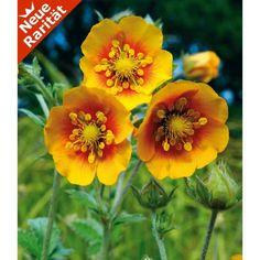 Himalaya-Fingerkraut, 3 Pflanzen - BALDUR-Garten GmbH