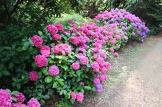 Pink and purple hydrangea flowers, mophead hydrangea bush, shady ...