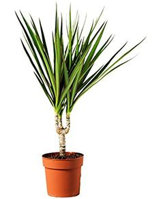 Dragon Tree (1 stem) - Grown by Lancashire Plants & Crafts (Sold Direct to Customers)