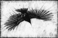 Google-kuvahaun tulos kohteessa http://images.fineartamerica.com/images-medium/crow-in-flight-john-terwilliger.jpg