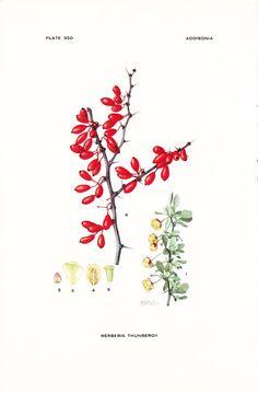 1925 Botany Print - Berberis Thunbergii - Japanese Barberry - Vintage Antique Flower Art Illustration Book Plate for Framing