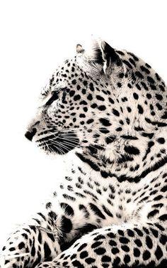 snow leopards are such beautiful creatures! Beautiful Cats, Animals Beautiful, Cute Animals, Simply Beautiful, White Photography, Animal Photography, Insect Photography, Especie Animal, Gato Grande