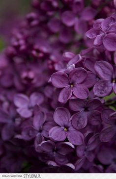 Deep purple lilacs, so romantic