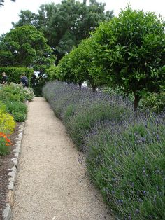 Standardised lemon tree hedge under planted with lavender.