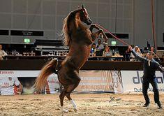 Spartacus TO (US)  2007 Chestnut Arabian Stallion. Marwan Al Shaqab {Gazal Al…