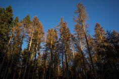 Die Bäume strecken sich noch mal ein bisschen um die letzten Sonnenstrahlen zu erhaschen. Mensch wirft neidisch einen Blick nach oben und beschließt weiter zu wandern um dem auf dem Gipfel nachzueifern. . . . . . . .  #olympus #olympusomd #em1 #olympuscamera #microfourthirds #harz #germany #travel #wanderlust #brocken #teufelsstieg #harzmountains #neverstopexploring #mountain #hiking #hike #trekking #mountainlife #outdoor #mountaineering #mountainview #wilderness #forest #outdoors #trees…