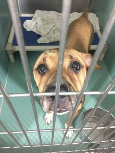 Manhattan Center BLUENOTE – A1079879  NEUTERED MALE, TAN / WHITE, PIT BULL MIX, 2 yrs STRAY – ONHOLDHERE, NO HOLD Reason STRAY Intake condition UNSPECIFIE Intake Date 07/03/2016, From NY 10468, DueOut Date 07/07/2016,