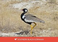 "The ""Korhaan"" is a bird in South Africa that seems to acts as a sentry with a raucous cry of alarm."