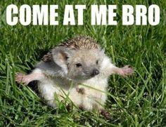 Fearless hedgehog...
