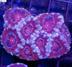 Red & White Acan #1 - Acanthastrea