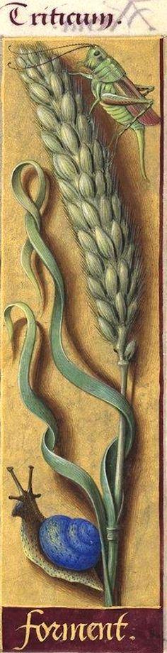Forment - Triticum (Triticum vulgare Vill. = froment, blé ordinaire) -- Grandes Heures d'Anne de Bretagne, BNF, Ms Latin 9474, 1503-1508, f°95r