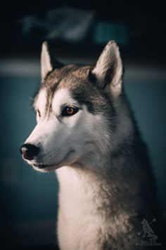 Undeniable Reasons to Own a Siberian Husky Ideas. Irrefutable Reasons to Own a Siberian Husky Ideas. Wolf Husky, Siberian Husky Dog, Husky Puppy, Cute Puppies, Cute Dogs, Dogs And Puppies, Sweet Dogs, Alaskan Malamute, Mundo Animal
