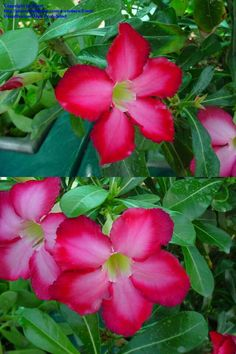 Beautiful Desert Rose.  Great choice for your Florida Garden!