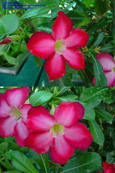 Beautiful Desert Rose.  Great choice for your Florida Garden!