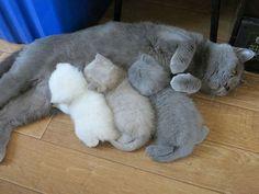 Una delle cose più toccanti da vedere è una mamma gatta che accarezza e nutrire i suoi piccoli. Nonostante ciò, però, alcuni definiscono i gatti come degli esseri freddi e indifferenti. In realtà i gatti, come tutti i genitori, si gonfiano di...