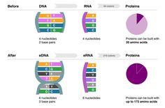 自然界にない塩基対を加えた人工DNA、生体内での複製に成功|WIRED.jp