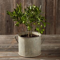 Found Galvanized Planter, Large | Williams-Sonoma. Great for indoors, too.