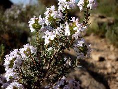 Inflorescència de la farigola (Thymus vulgaris)