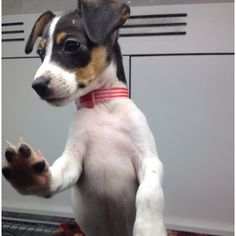 Rat terrier... SO FREAKIN CUTE!
