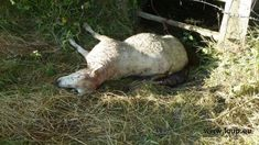 Attaques à répétition contre des troupeaux de moutons