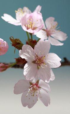 [TITLE] Cherry Blossom Art, Blossom Flower, Flower Art, Flower Backgrounds, Flower Wallpaper, Colorful Flowers, Spring Flowers, Blooming Trees, Pink Plant