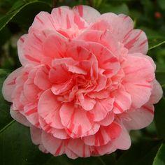 Camellia japonica 'Feast's Perfection' (U.S., 1857)