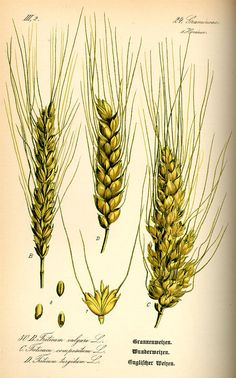 wheat Flora von Deutschland Österreich und der Schweiz (1885)