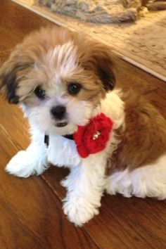 Mini the Malshi puppy. Half Maltese half Shih Tzu.