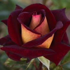 Rose 'Eddy Mitchell'